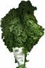 Col rizada kale - Product